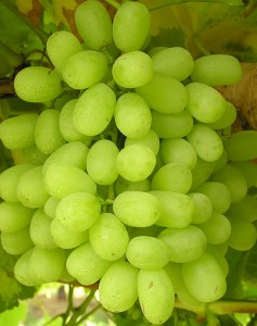 Thompson seedless